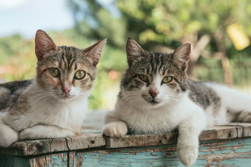 cat-breeds-best-for-families